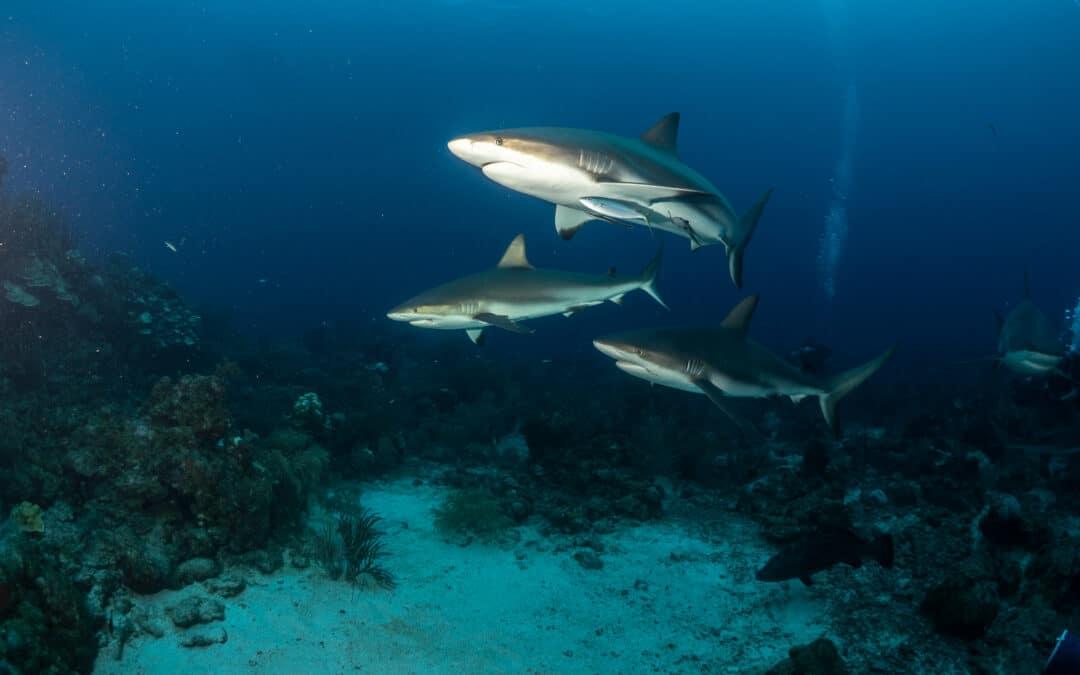 Saving the Sharks of Guatemala